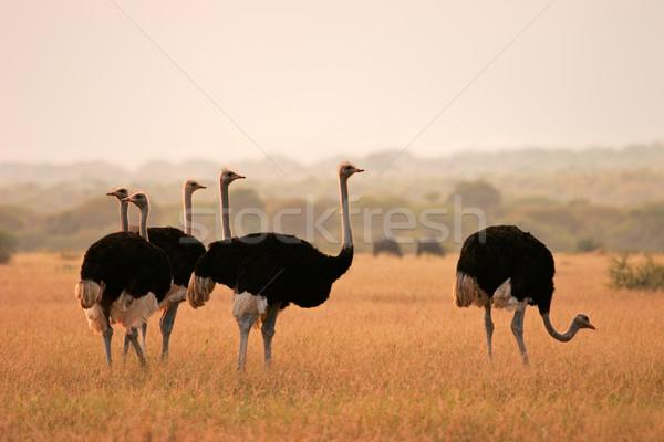 早朝 光 公園 南アフリカ 草 自然 ストックフォト © EcoPic