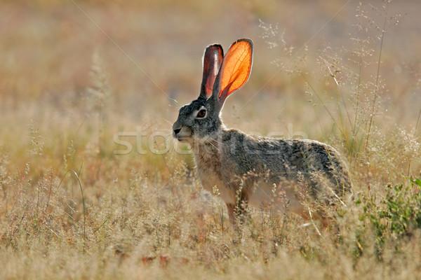 Scrub hare Stock photo © EcoPic