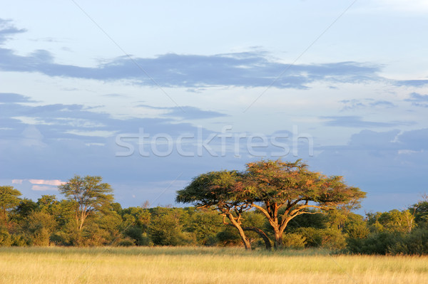 Africaine arbre paysage belle parc Zimbabwe Photo stock © EcoPic