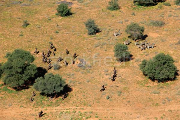 Zebras and wildebeest Stock photo © EcoPic