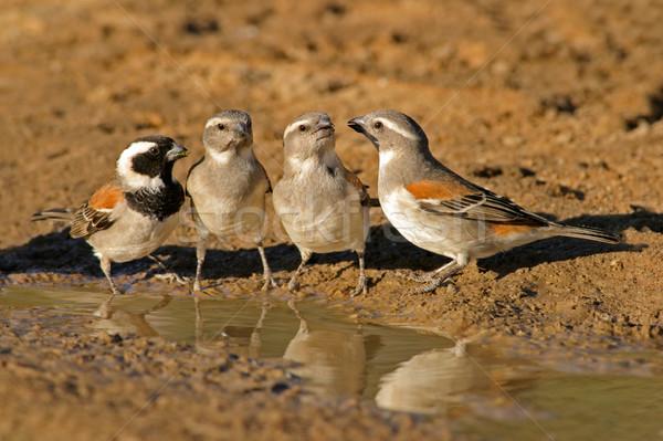 água África do Sul natureza grupo aves comunicação Foto stock © EcoPic