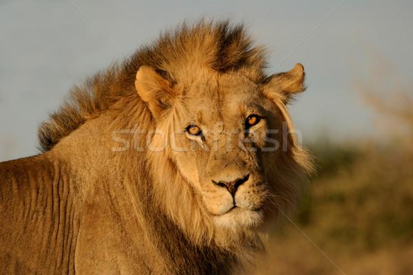 Big male lion Stock photo © EcoPic