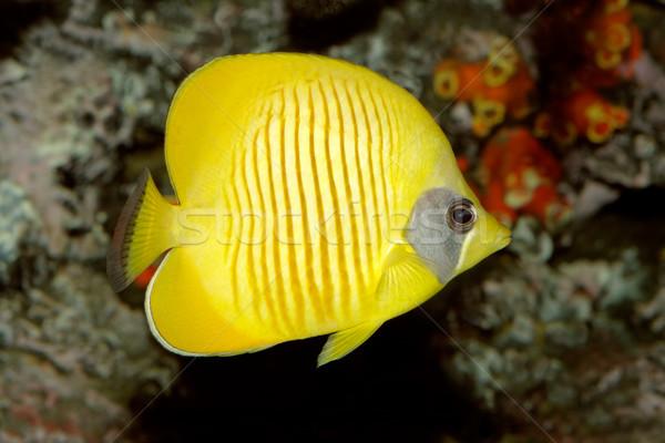 Yellow butterflyfish Stock photo © EcoPic