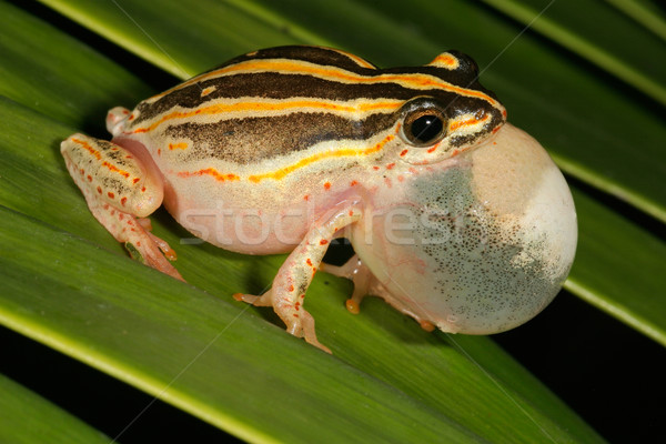 Calling painted reed frog  Stock photo © EcoPic
