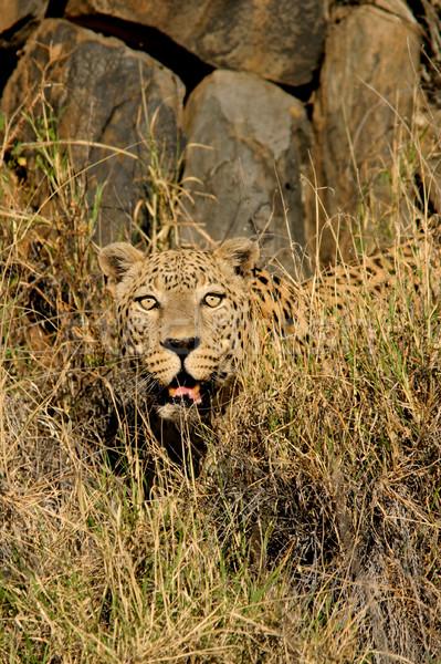 Male leopard Stock photo © EcoPic