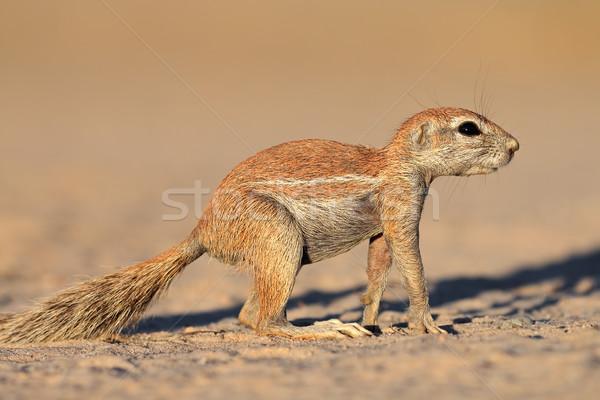 Alarm grond eekhoorn woestijn South Africa natuur Stockfoto © EcoPic