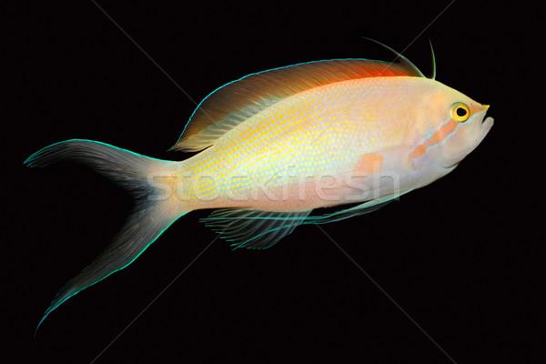 Anthias fish Stock photo © EcoPic