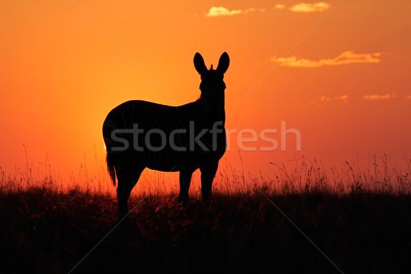 Zebra silhouette Stock photo © EcoPic