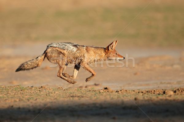 Black-backed Jackal running Stock photo © EcoPic