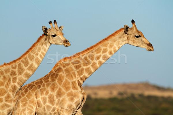 Giraffes against a blue sky Stock photo © EcoPic