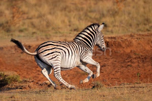 を実行して 平野 シマウマ 南アフリカ アフリカ 実行 ストックフォト © EcoPic