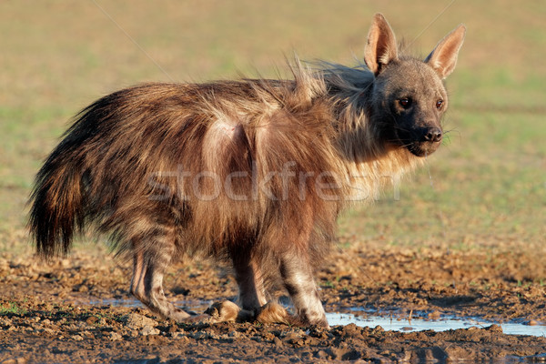 Braun Hyäne Wüste Südafrika Park trinken Stock foto © EcoPic