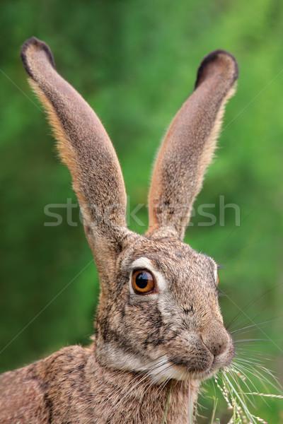Bozót nyúl portré hosszú fülek nagy Stock fotó © EcoPic