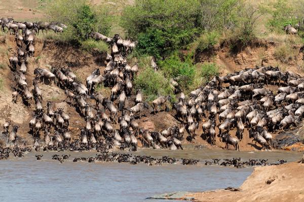 Vándorlás kék folyó tartalék Kenya természet Stock fotó © EcoPic
