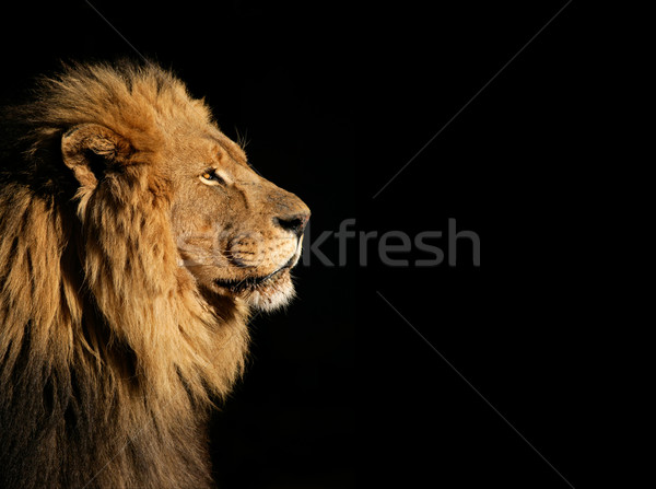 Male African lion on black Stock photo © EcoPic