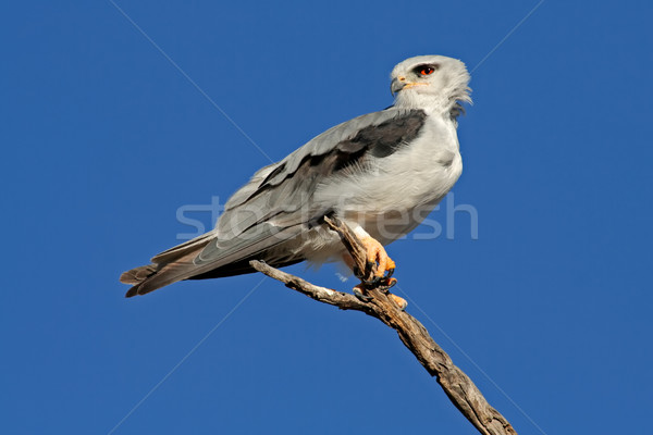 Black-shouldered kite Stock photo © EcoPic