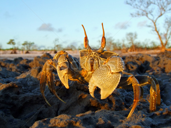Ghost crab on rocks Stock photo © EcoPic