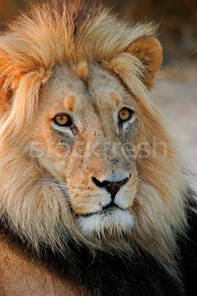 ビッグ 男性 ライオン 肖像 アフリカ 砂漠 ストックフォト © EcoPic
