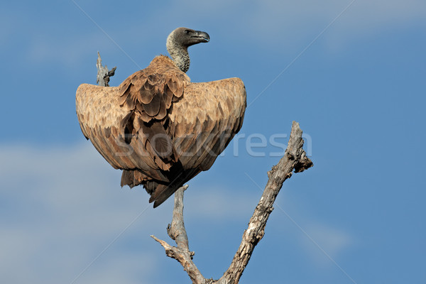 White-backed vulture Stock photo © EcoPic