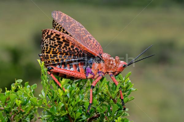 Konik polny czerwony skrzydła Widok Południowej Afryki nogi Zdjęcia stock © EcoPic