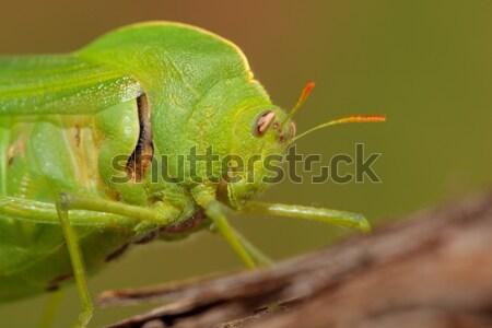 膀胱 グラスホッパー 肖像 緑 南アフリカ 眼 ストックフォト © EcoPic