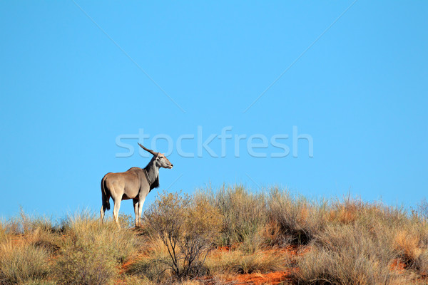 Stock photo: Eland antelope