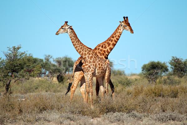 Giraffe bulls Stock photo © EcoPic