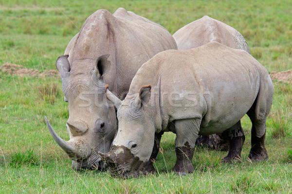 Stock photo: White rhinoceros feeding