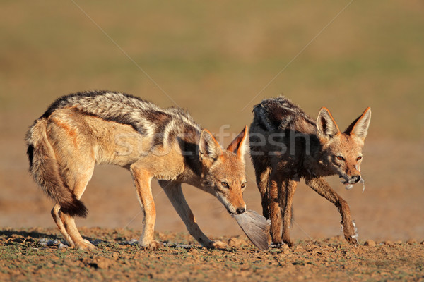 Black-backed Jackals eating dove Stock photo © EcoPic