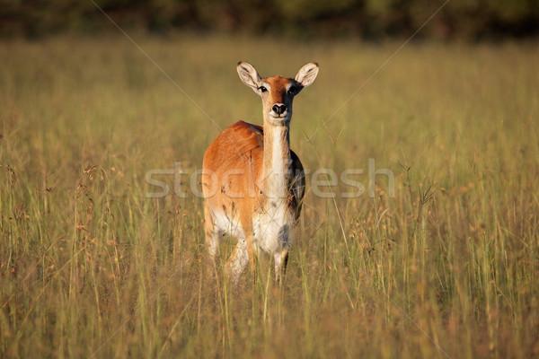 Rood vrouwelijke lang gras zuidelijk afrika Stockfoto © EcoPic