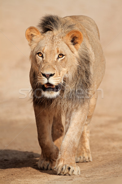 Walking African lion Stock photo © EcoPic