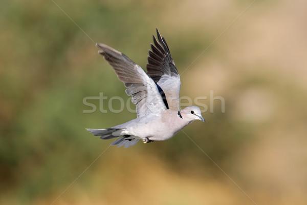 Cape turtle dove in flight Stock photo © EcoPic