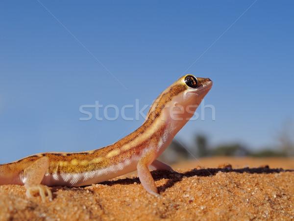 Suelo geco duna cielo azul Sudáfrica cielo Foto stock © EcoPic