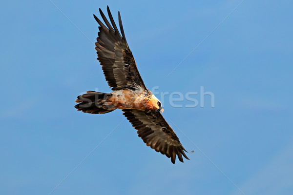 Bearded vulture in flight Stock photo © EcoPic