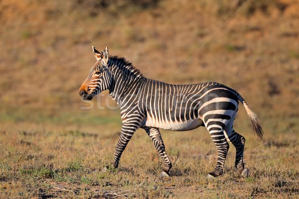 Berg Zebra natürlichen Lebensraum Park Südafrika Stock foto © EcoPic