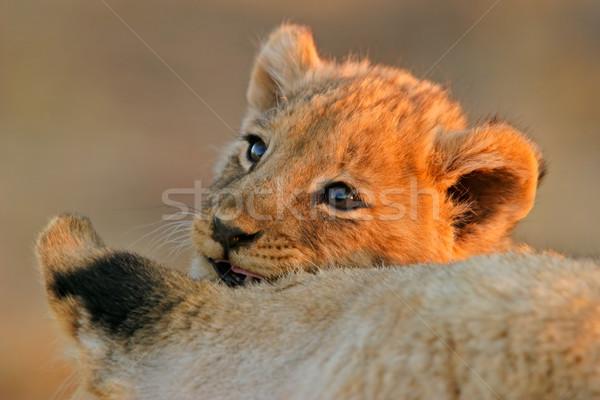 Oroszlán medvebocs portré fiatal afrikai szemek Stock fotó © EcoPic
