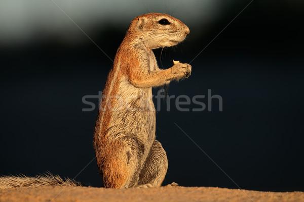 Ziemi wiewiórki pustyni Południowej Afryki oczy Zdjęcia stock © EcoPic