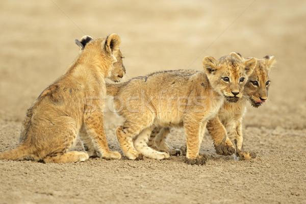 Aranyos oroszlán három sivatag Dél-Afrika Afrika Stock fotó © EcoPic