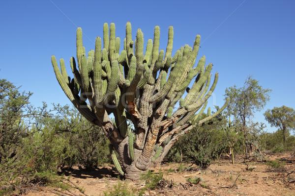 Toothpick cactus Stock photo © EcoPic