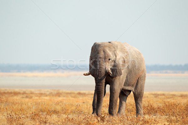 African elephant on open plains Stock photo © EcoPic