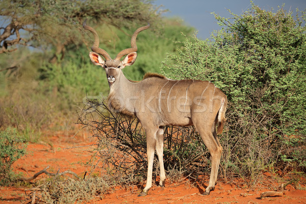 Kudu antelope Stock photo © EcoPic