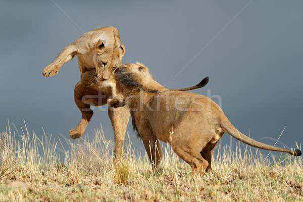Playful African lions Stock photo © EcoPic