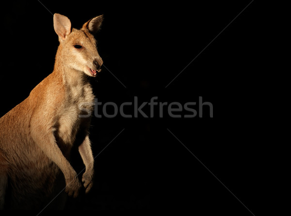Agile Wallaby on black Stock photo © EcoPic