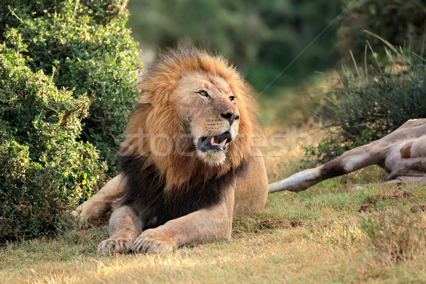 African lion with prey Stock photo © EcoPic