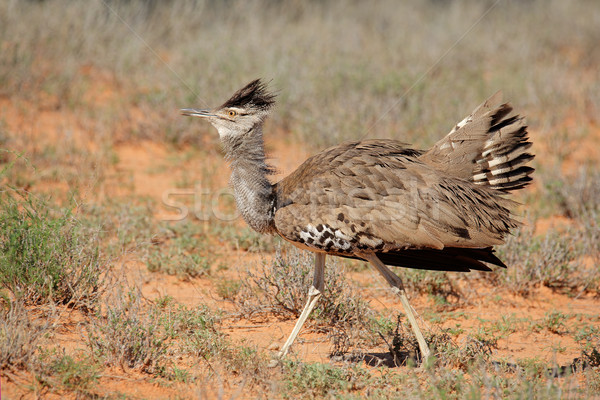 Displaying kori bustard Stock photo © EcoPic