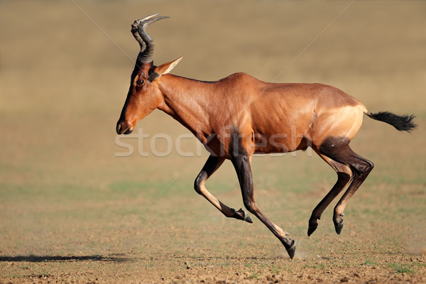 Running red hartebeest Stock photo © EcoPic
