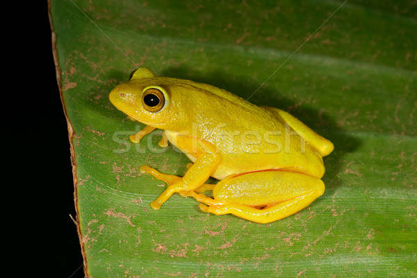 Tinker reed frog Stock photo © EcoPic