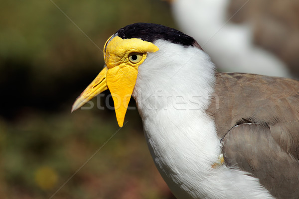 Masked lapwing Stock photo © EcoPic