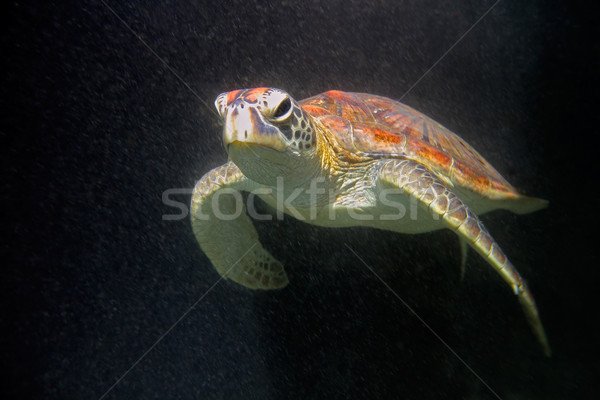 Hawksbill sea turtle Stock photo © EcoPic