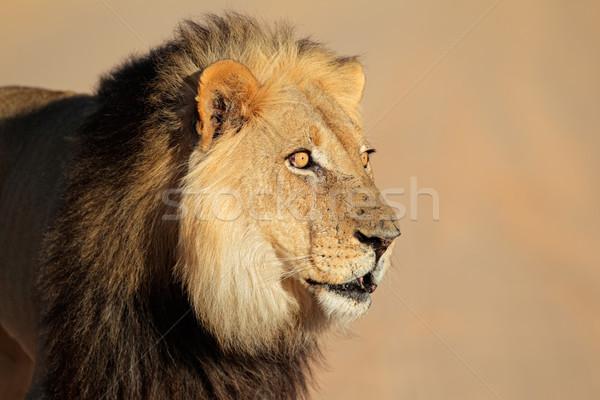 Zdjęcia stock: Afryki · lew · portret · duży · mężczyzna · pustyni